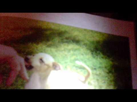 Benne, A.K.A. Bennedera, the Human Italian Greyhound!