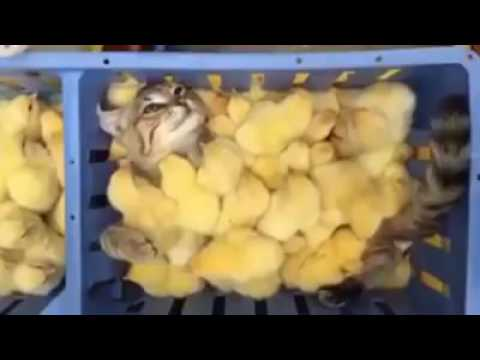 Cat swimming in a chicken pool