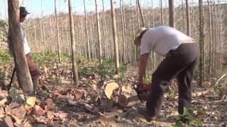 Teak Plantation Growth Pattern