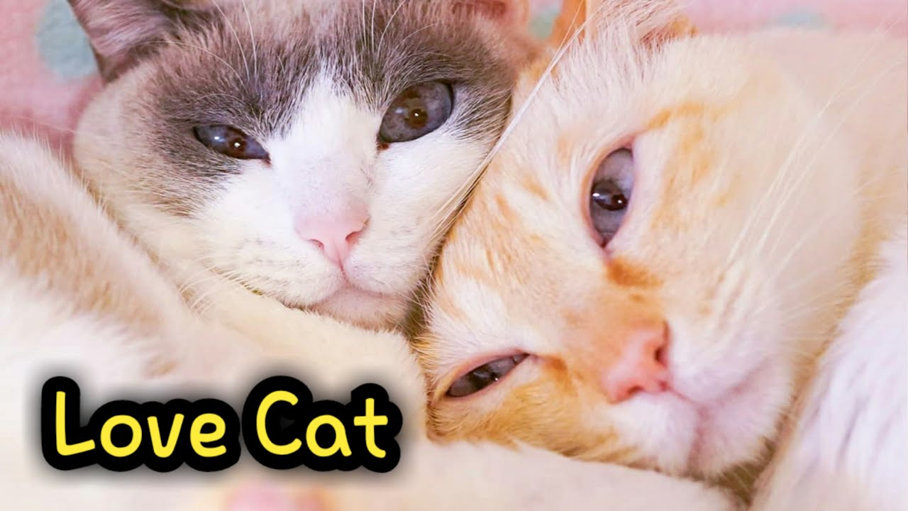 Lovely and Sweet Cat Couple Chaco & Suzuka