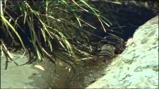 Ornitorrinco