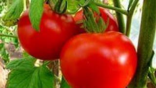 видео Как вырастить помидоры зимой, в квартире, на подоконнике?