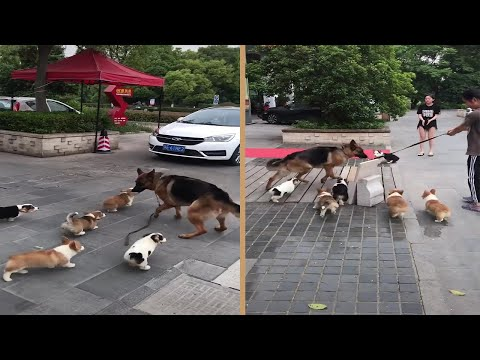 German Shepherd Dog Chased By Corgi Puppies