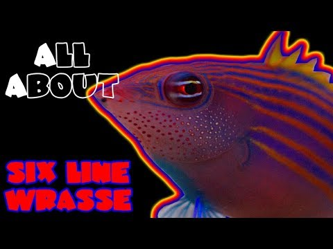 All About The Six Line Wrasse