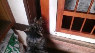 猫のカンナさん、柵を軽~く飛び越えられるのに開けてもらうのを待って...