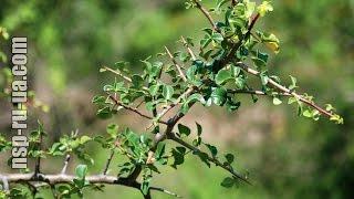 Босвелия экстракт Boswellia serrata цена, купить Босвелию Плюс НСП Boswellia Plus