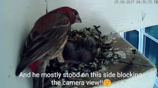 7 days old nestlings: House Finch 🐦 05.09.17