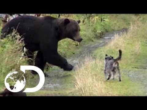 Thumbnail: Dogs vs Grizzly Bears - Weird, True & Freaky
