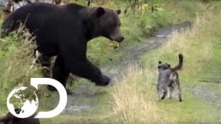 Dogs Vs Grizzly Bears - Weird, True & Freaky