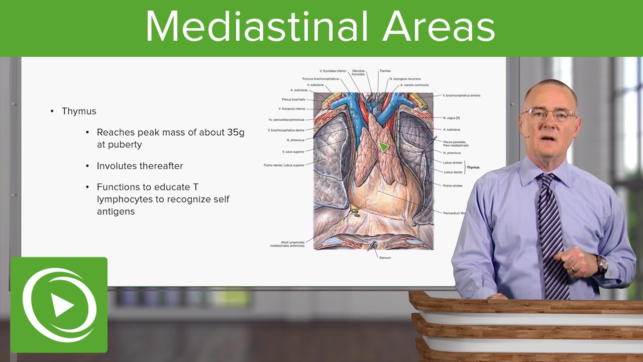 Mediastinal Areas – Anatomy | Lecturio - YouTube