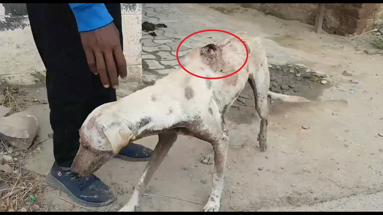 Download Rescue Poor Dog Who Had A Wound Full Of Maggots And Suffered From Skin