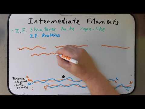Day 31 Intermediate Filaments