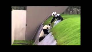 funny panda fails videos videos funny panda fails videos clips
