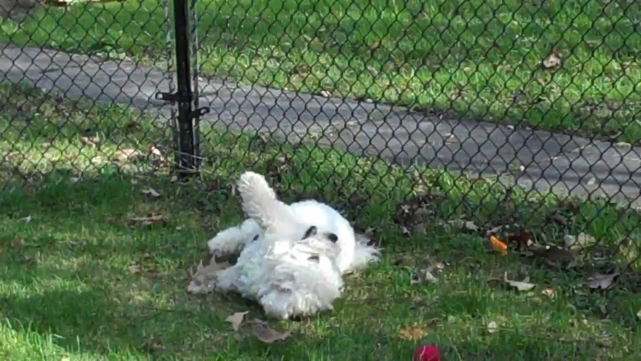 Why Do Dogs Like To Roll In Poop