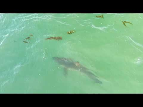Great White Sharks from Drone in Long Beach, California