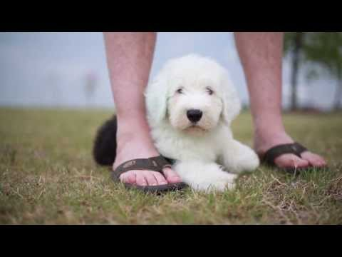 Wallace - Old English Sheepdog Puppy
