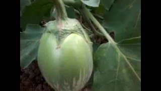 brinjal cultivation odisha-india