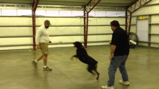 Personal Protection Trained Rottweiler For Sale Doc