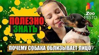 Полезно знать с ZooMISTO | Почему собака лижет лицо?