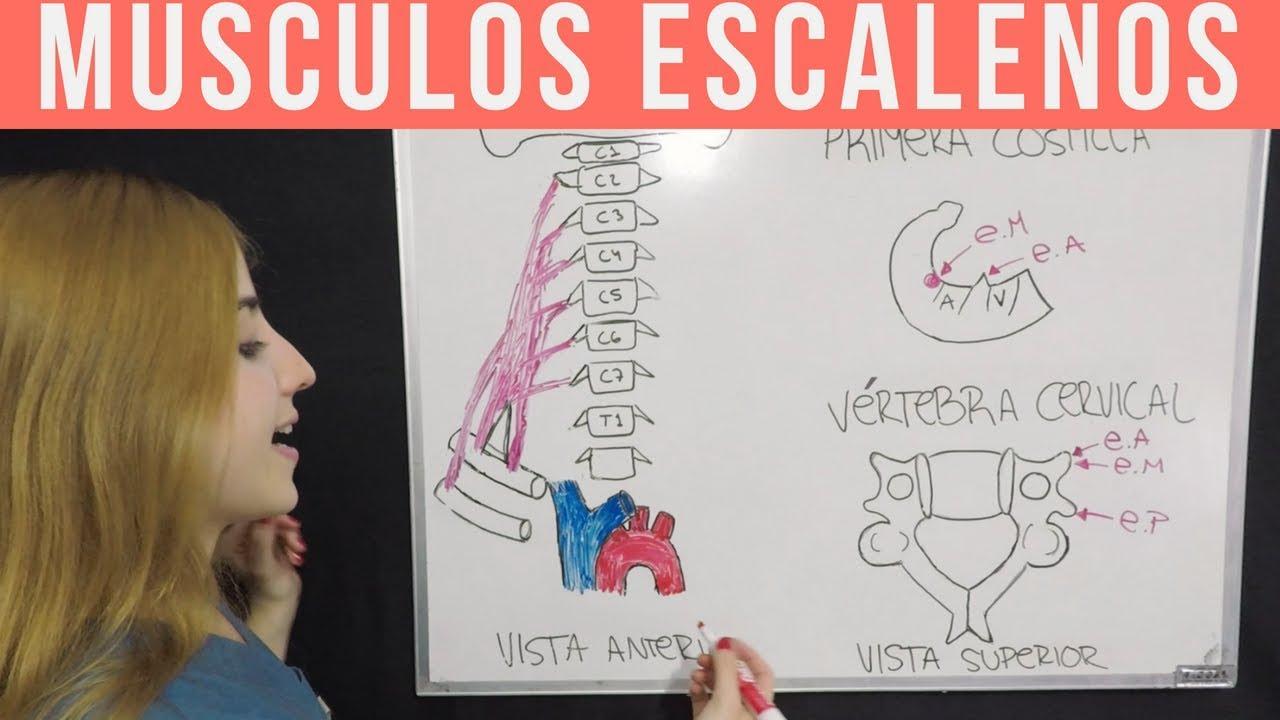 ANATOMÍA MÚSCULOS DEL CUELLO + MNEMOTECNIA (Parte 2) ESCALENOS - YouTube