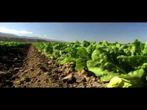 Marul yetiştiriciliği (lettuce cultivation)... USAGRO | Türkiye