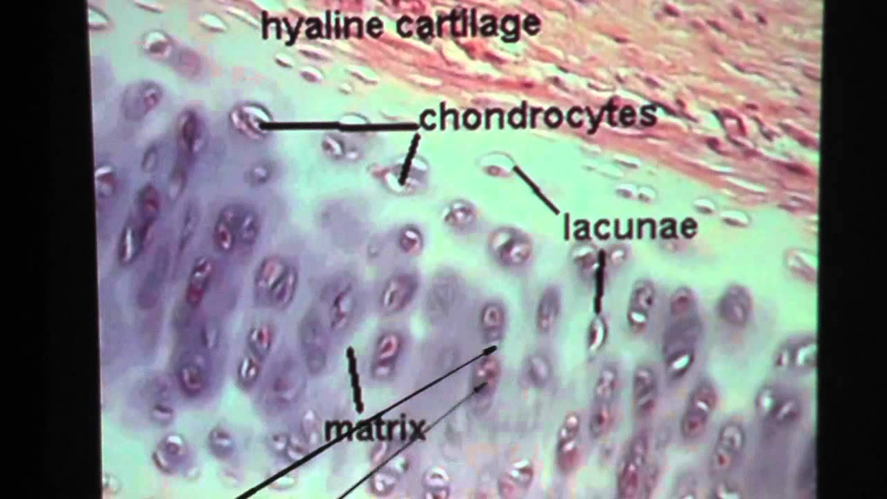 Hyaline Cartilage Connective Tissue Youtube