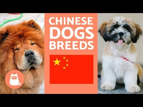9 Breeds of Chinese Dogs