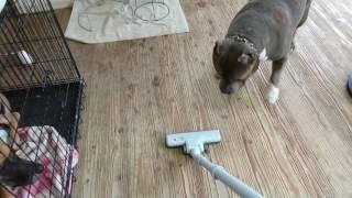 掃除機の邪魔をするアメリカンブリーが掃除機を壊す!