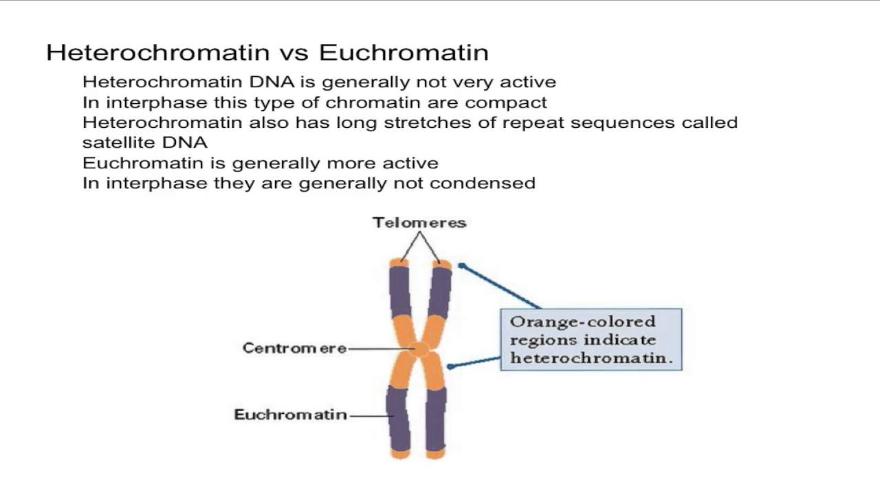Chromosome Vs Chromatin Heterochromatin Vs Euchromatin - Youtube