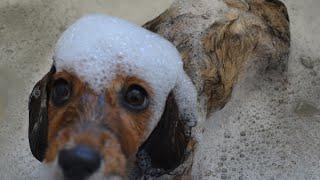 Cute puppy bath time - Funny dachshund puppy doesn't like bath