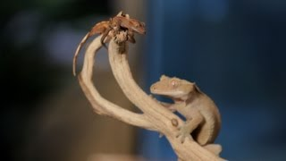 8 Cool Facts about Crested Geckos | Pet Reptiles