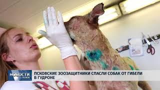 Новости Псков 10.06.2018 # Псковские зоозащитники спасли собак от гибели в гудроне