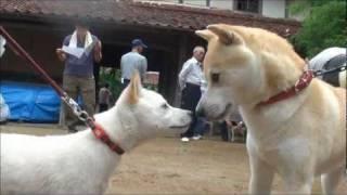 2011年6月18日に、湯梨浜町にある「尾崎邸」で開催された山陰柴犬鑑賞会...
