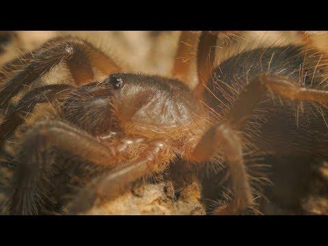 Paczka od Spider Shop A w niej Sericopelma sp Boquete :O