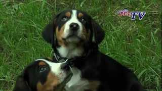 Großer Schweizer Sennenhund: Informationen Zur Rasse