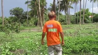 Philippine Coconut and Corn Farm