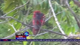 Bksda Maluku Lepasliarkan 78 Ekor Burung Di Net24