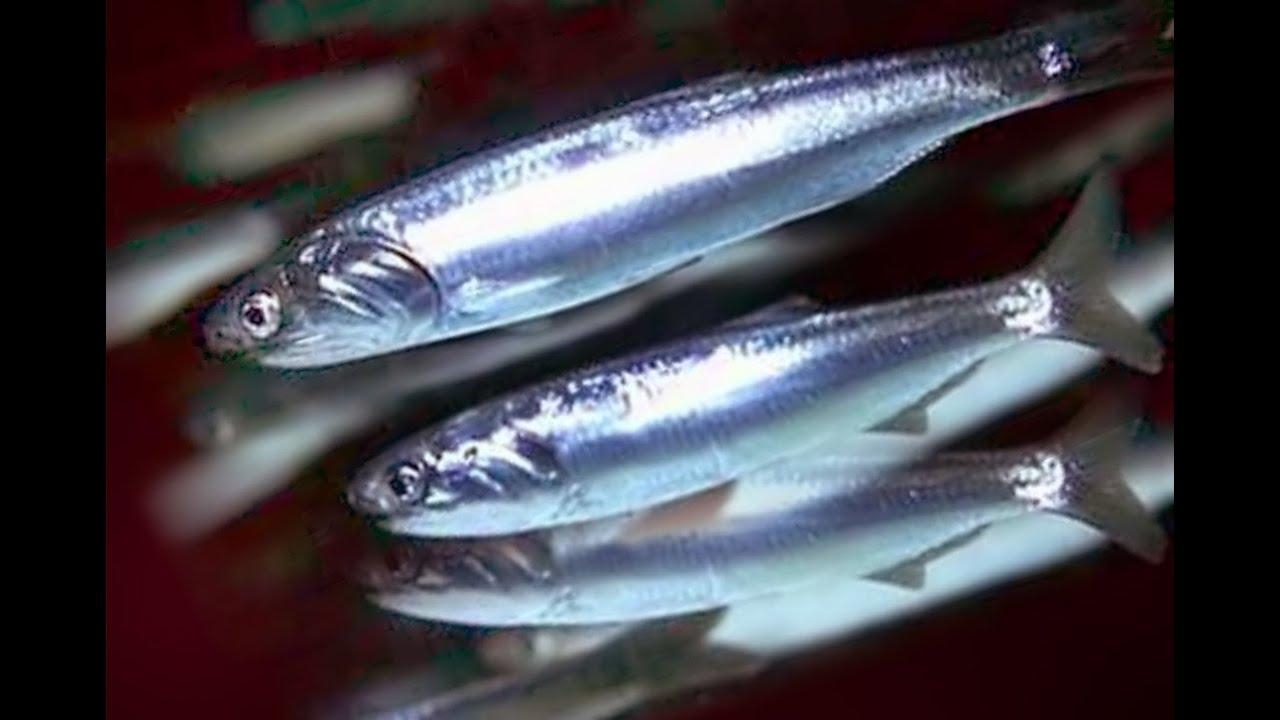 Рыба хамса