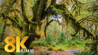 8K Rainforest Walk with Nature Sounds - Hall of Mosses Trail...