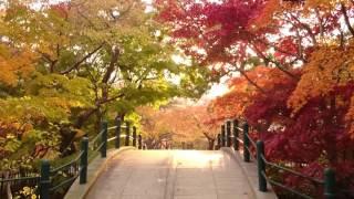 函館公園の紅葉です。音楽が聞こえるかと思いますが気にしないでくださ...
