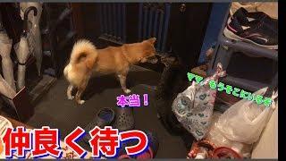 ママの帰りを待ちわびている柴犬ハナと猫クロ、そして出迎え後は何する? -- Shiba and cat are waiting for Mom.--