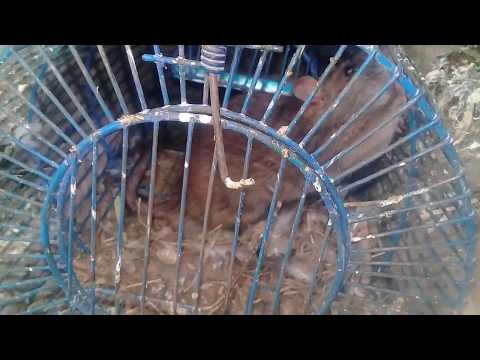 kabootar-k-loft-me-mouse-||-mousetrap-||-rat-trap