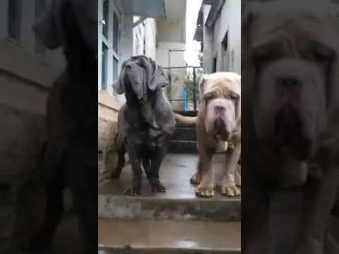Neapolitan mastiff dogs and puppies available for sale in Bangalore