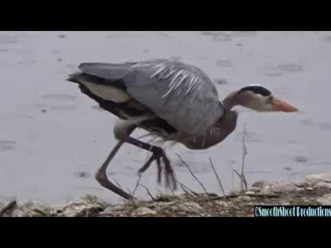 GREAT BLUE HERON Hunting Fish Eating Several Lets One Go