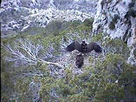 Black Vulture Nestcam #6: Sharing Parental Responsibility