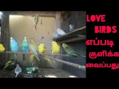 Repeat Budgies and other birds summer care tips in tamil