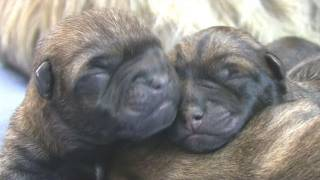 Cairn Terrier's 3rd Puppy Birth (in Hd)
