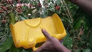 Harvesting selective picking - Step 1 - Post Harvest Handling Training