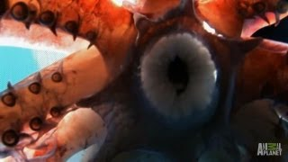 Diver Pulled Under by Squids | Man-Eating Super Squid