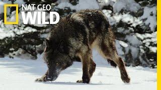 Top Five Ways To Survive | Wild Yellowstone